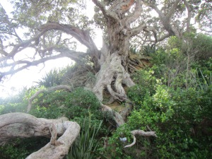 Very, very old Pohutukawa tree near beach on Tiri