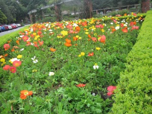 October is Spring in Wellington; enjoy tulips, poppies and other spring blooms