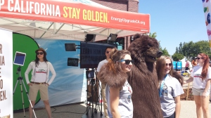 At about 95 degrees, not a great day to be the California Bear mascot!