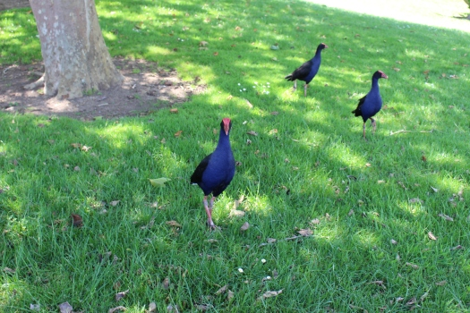 Pukeko birds greet zoo goers.