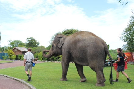 Burma, the zoo's Asian elephant takes walks around the zoo with her keepers.
