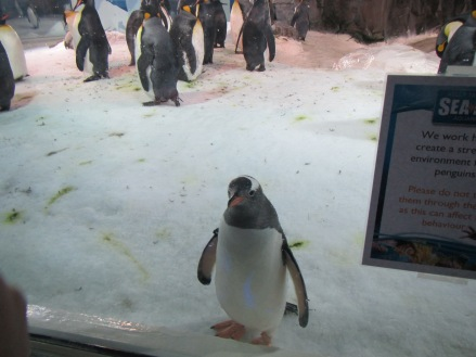 Even in captivity, the penguin can charm!