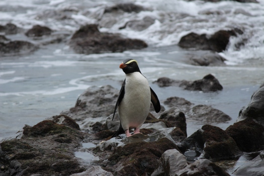 Read more about Fiordland Penguins and the