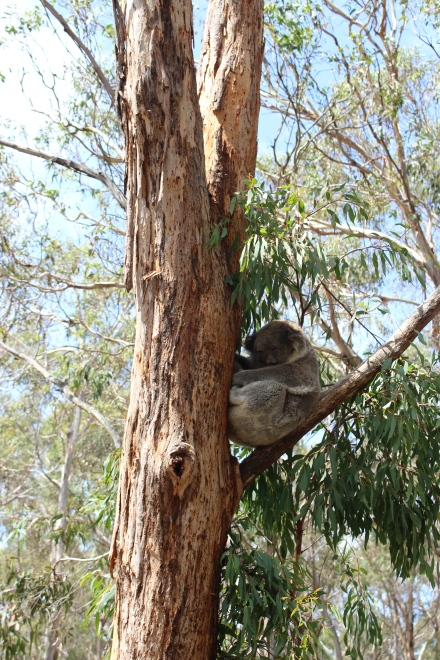 Koalas in gum tree on Phillip Island